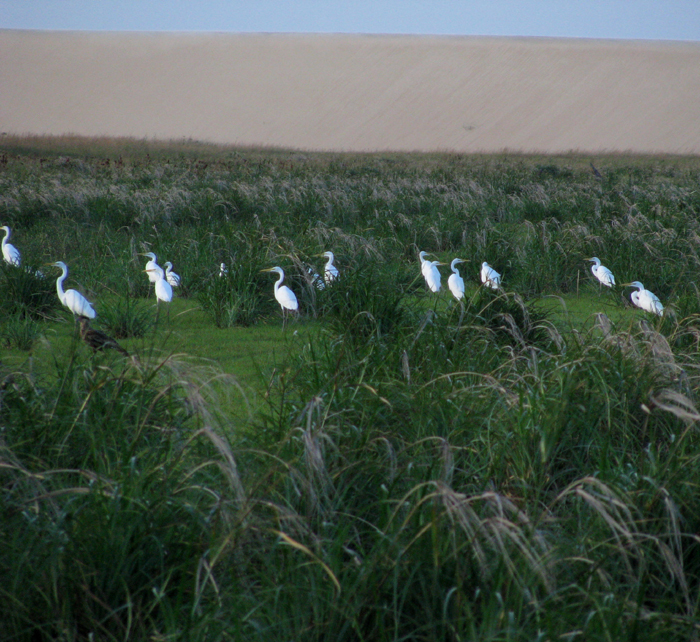 Egrets in the Grass